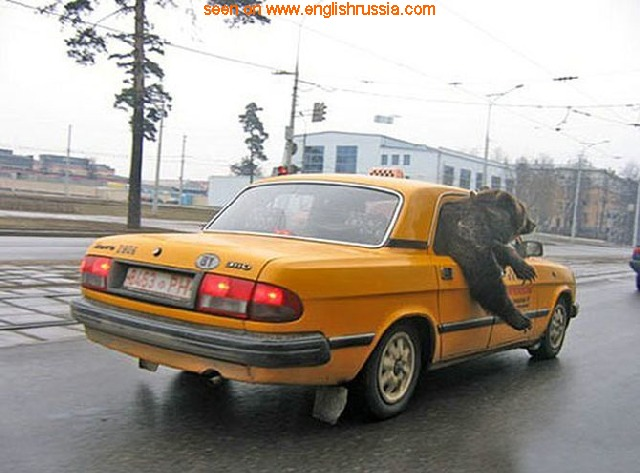 russian car volga with a russian bear as a passenger